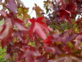Portræt af Virginsk Ambratræ