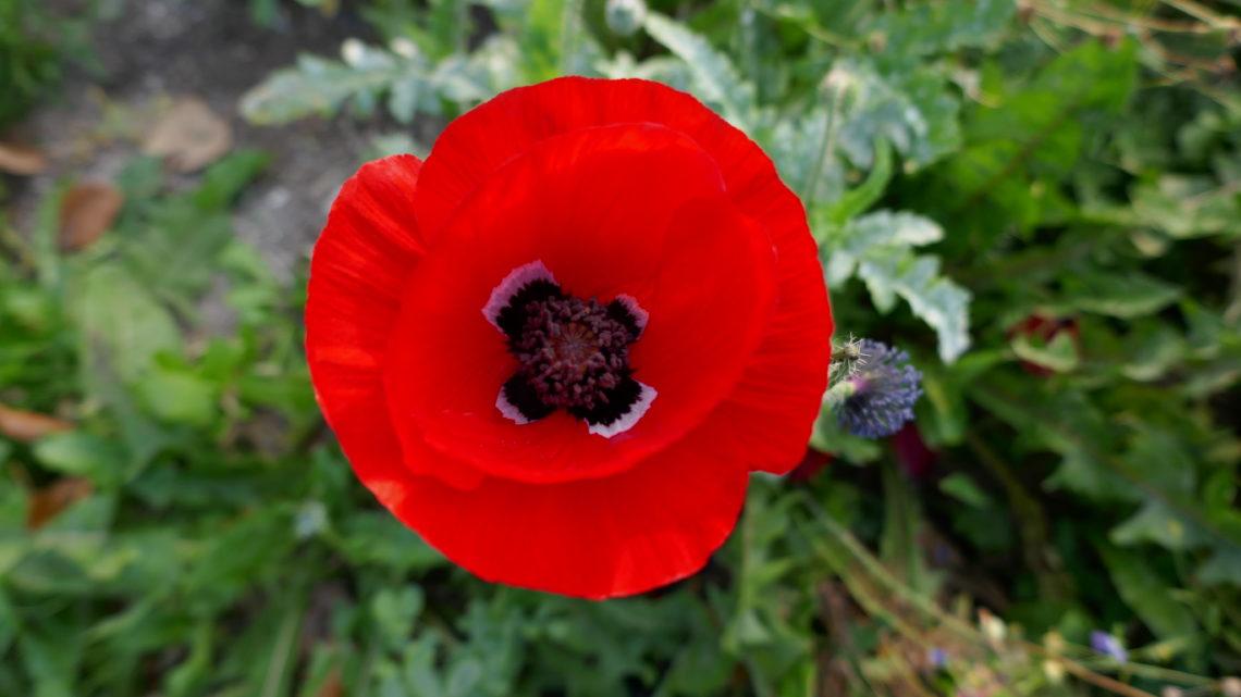 Blomster-billed-dag