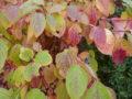 En busk, der blomstrer en stor del af året