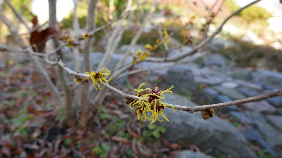 Blomsterdagbog 2019: Nye blomster på spring
