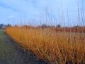 Portræt af Pil, Salix