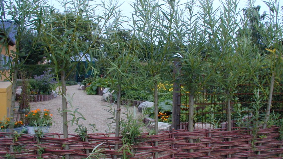 Piledyrkning – og høst