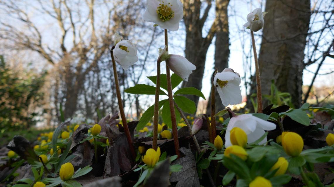 Blomsterdagbog 2019: Nye blomster på banen