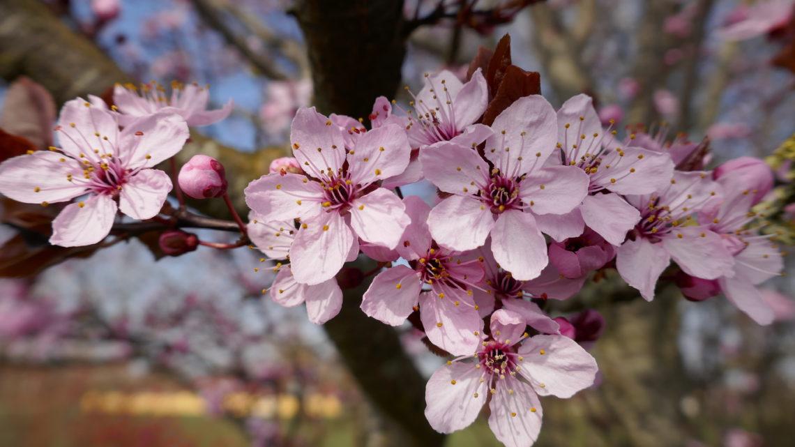Blomsterdagbog 2019: Blomstrende træer