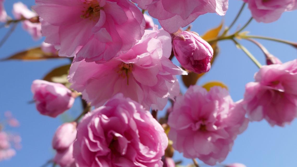 Blomsterdagbog 2019: Prunus-dag