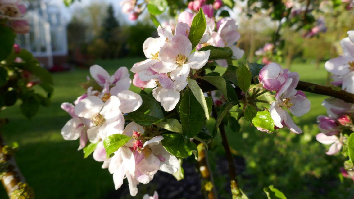 Blomsterdagbog 2019: Æææælsker æbleblomster