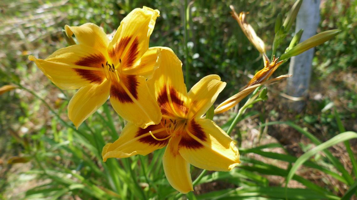 Blomsterdagbog 2019: Dejlige dagliljer og herlige hortensier
